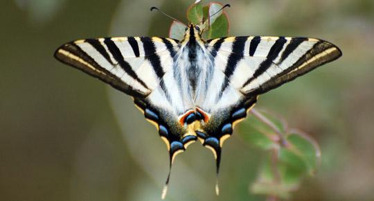 Profil-Schmetterl